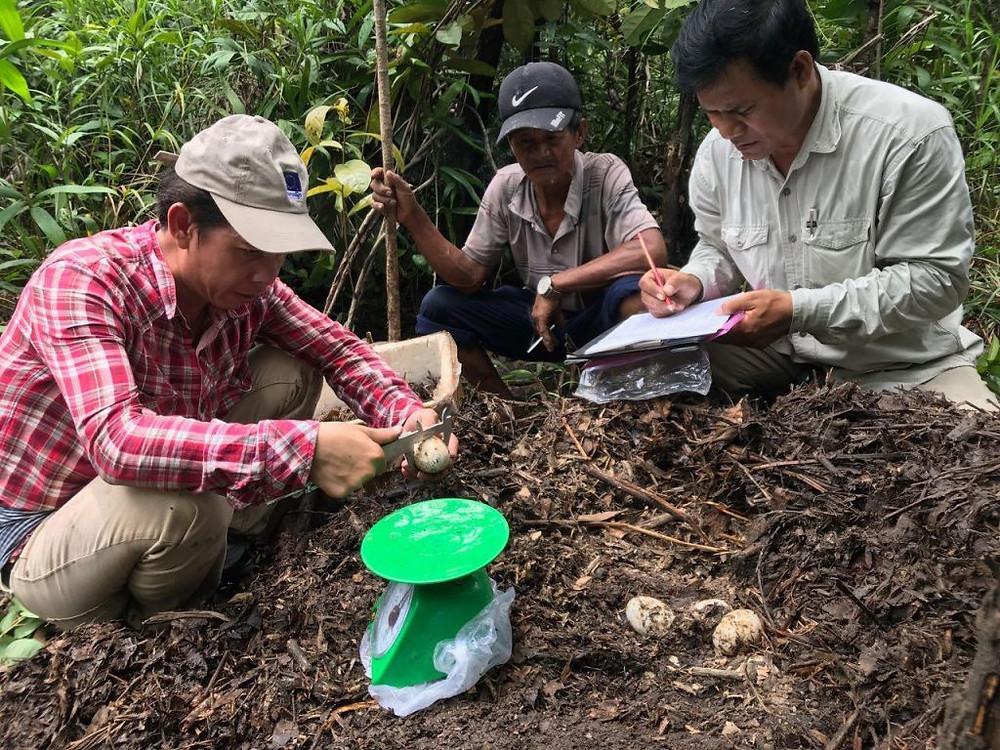 Découverte de 48 œufs de crocodile du Siam à Sre Ambel