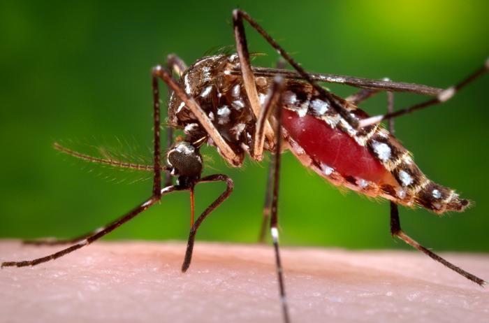 Aedes aegypti, ou moustique tigre