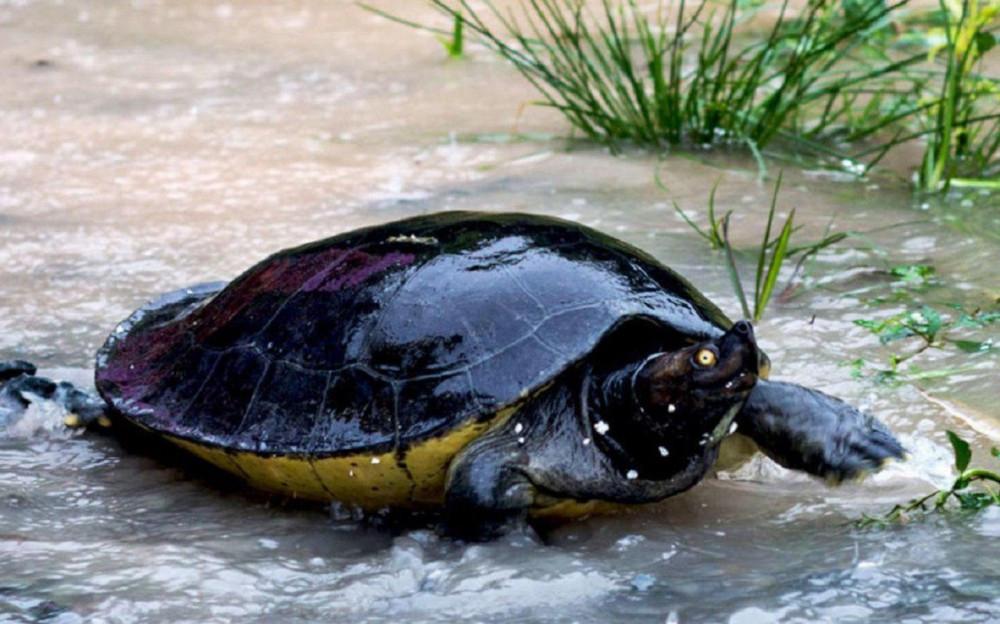 La tortue royale (Batagur affinis) est l'une des 25 espèces de tortues les plus menacées dans le monde