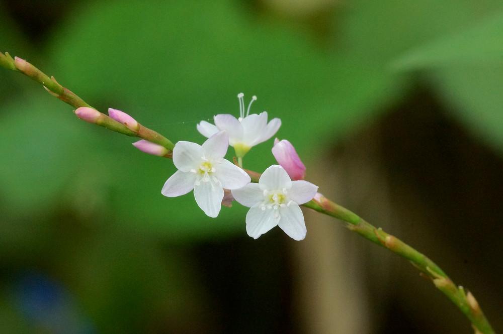 Persicaria odorata est une plante vivace qui pousse bien en plein soleil et dans un climat humide