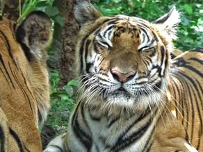Tigre d'Indochine…