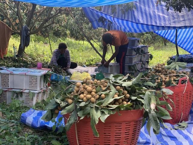 Récolte des longanes de Pailin