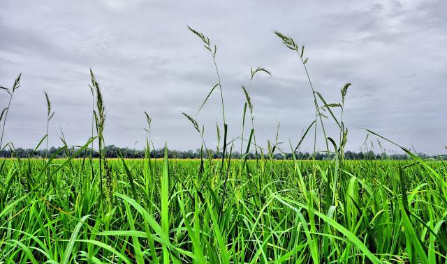 Cambodge, pays de rizières