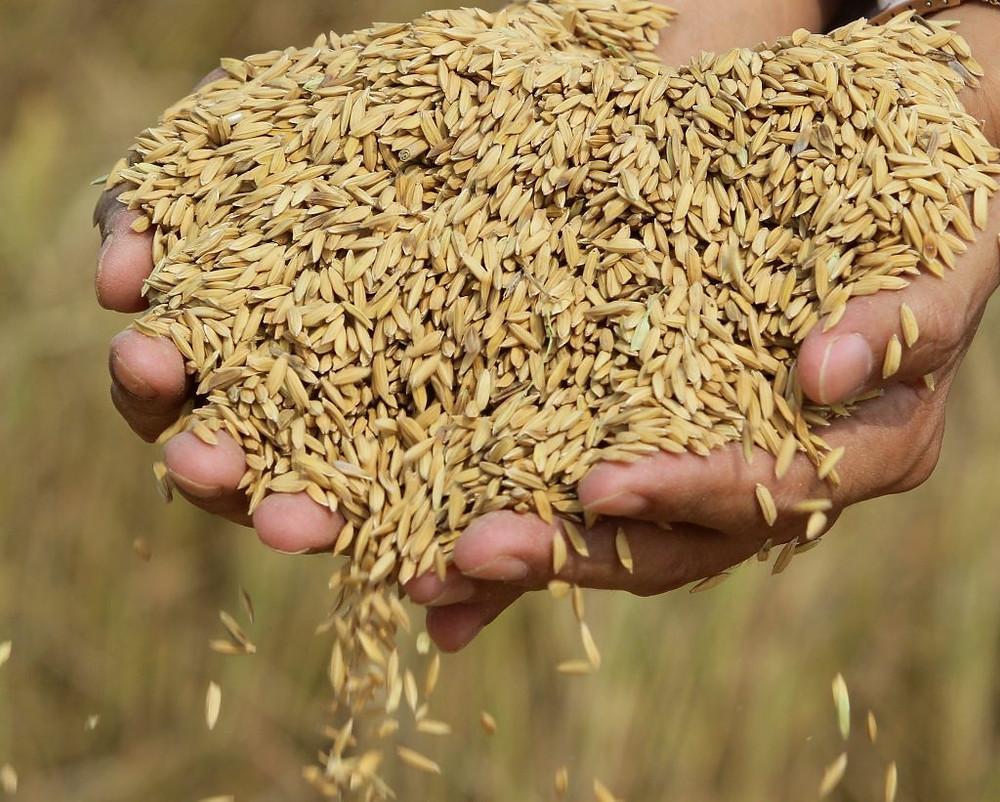 De nouveaux débouchés pour le riz cambodgien