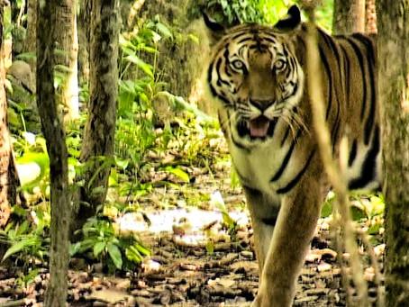 Photo du jour, tigre au Cambodge