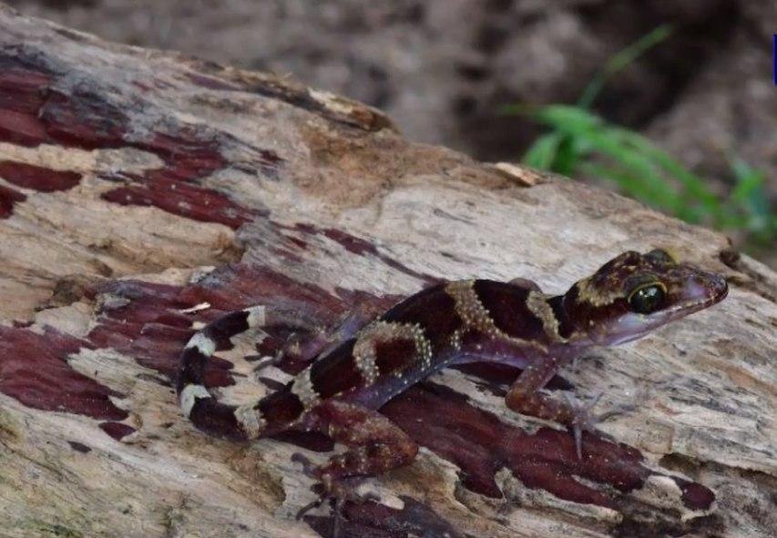 nouvelle espèce de gecko à doigts courbés (Cyrtodactylus phnomchiensis)