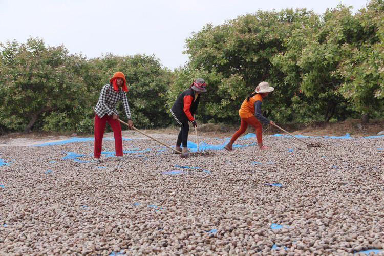 La récolte des noix de cajou à Siem Reap