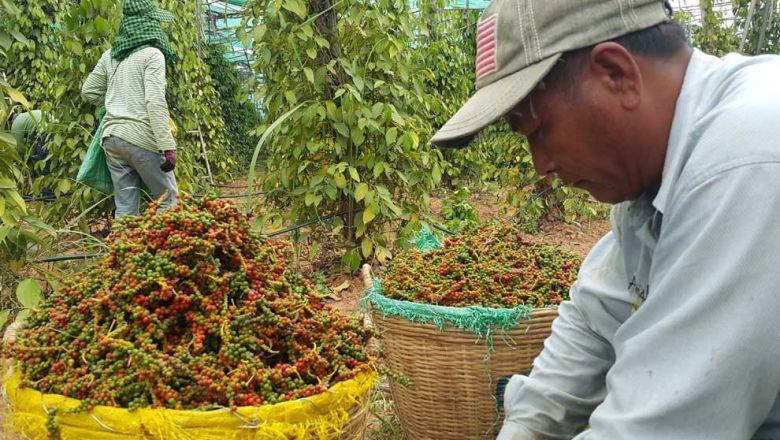 Le Royaume a exporté 3 959 tonnes de poivre cette année