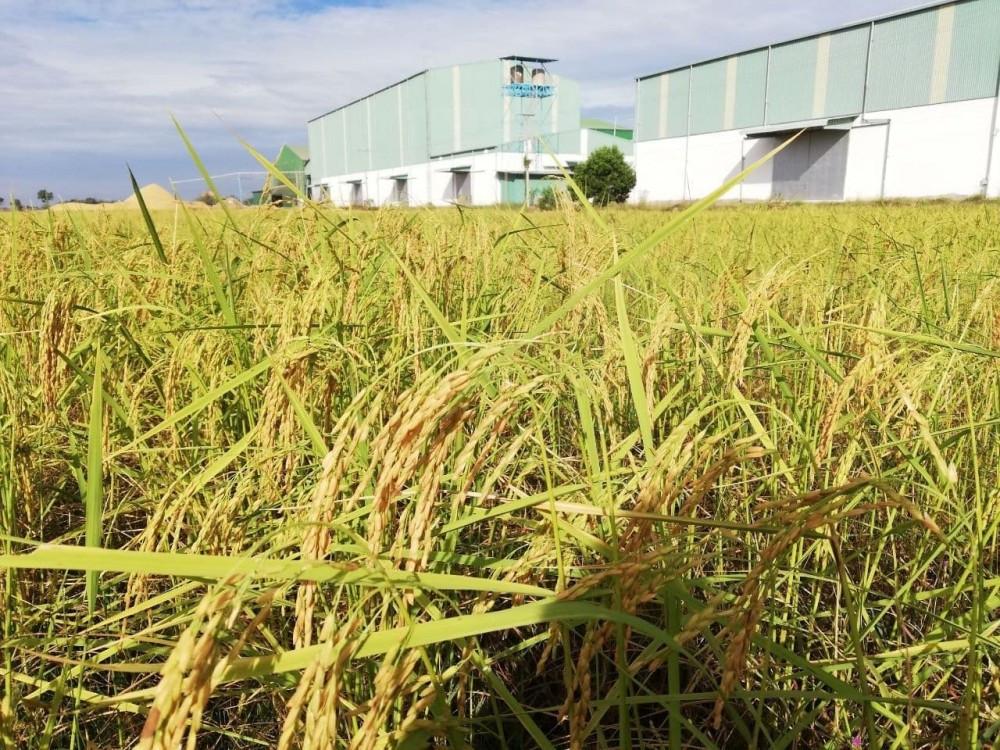 Phka Mealdey, un riz qui résiste au changement climatique