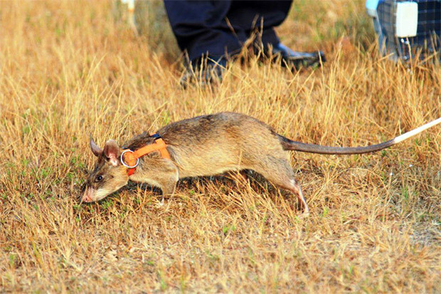 Rat (Cricetomys gambianus) démineur, originaire d'Afrique