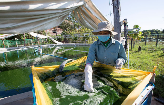 Spiruline, l'algue produite au Cambodge