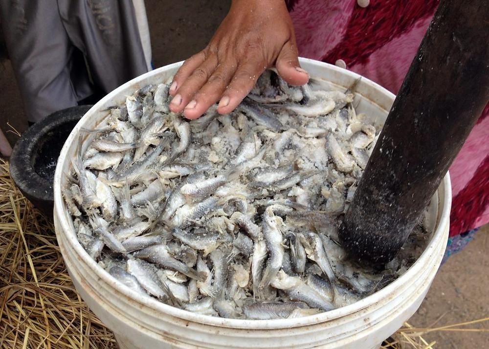 Petits poissons éviscérés, salés et pilés destinés à produire du prahok