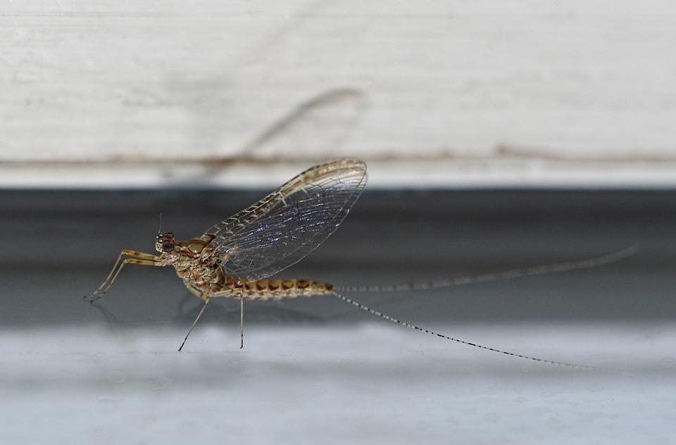 Les Éphémères (Ephemeroptera) sont les plus anciens insectes ailés encore vivants puisqu'ils sont apparus il y a plus de 300 millions d'années