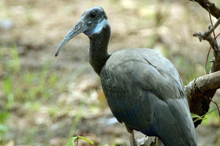 Six nids d'ibisde Davison ont été trouvés dans les plaines du nord de la province de Preah Vihear