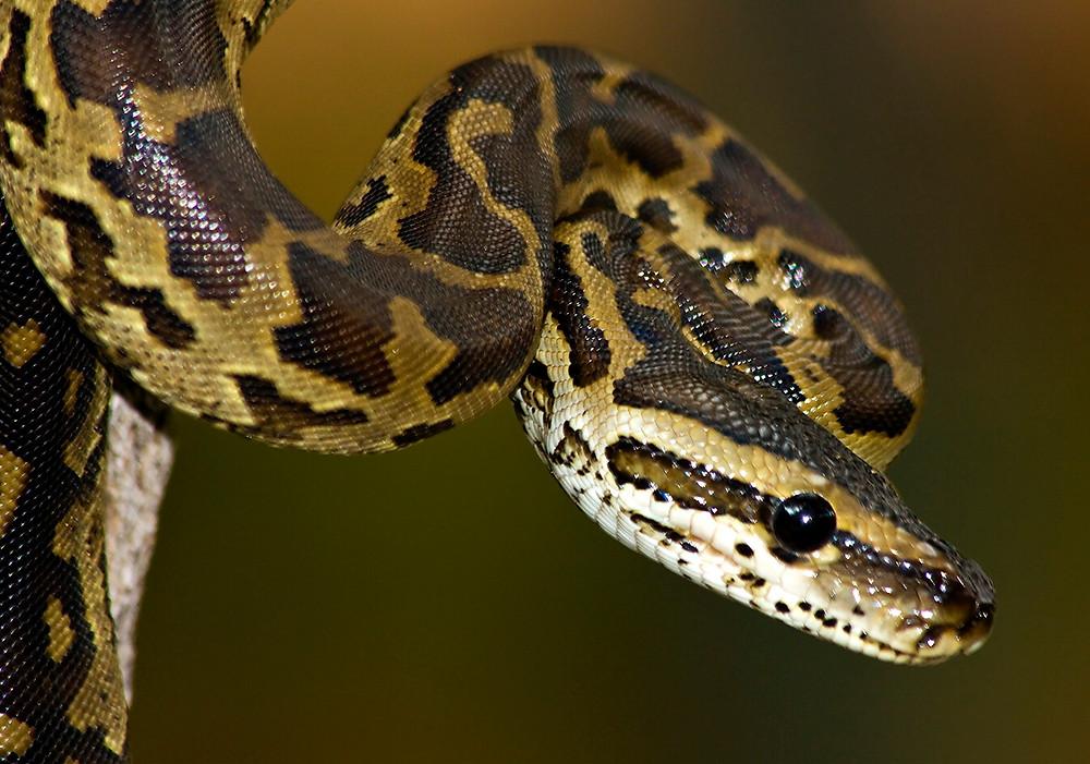 Le Python birman