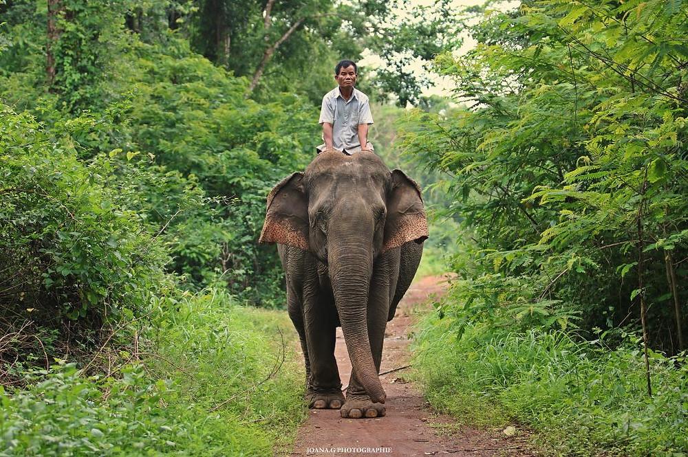 L'un des éléphants de la fondation avec son cornac