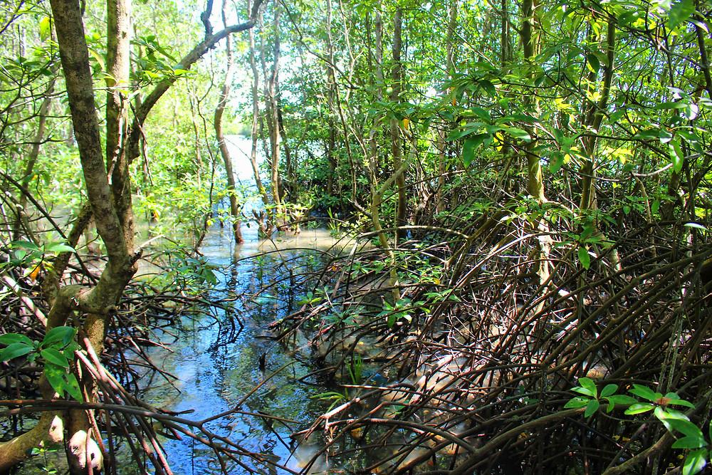 Mangrove de Trapaing Sangke