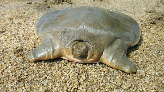 La tortue géante de Cantor à carapace molle (Pelochelys cantorii)