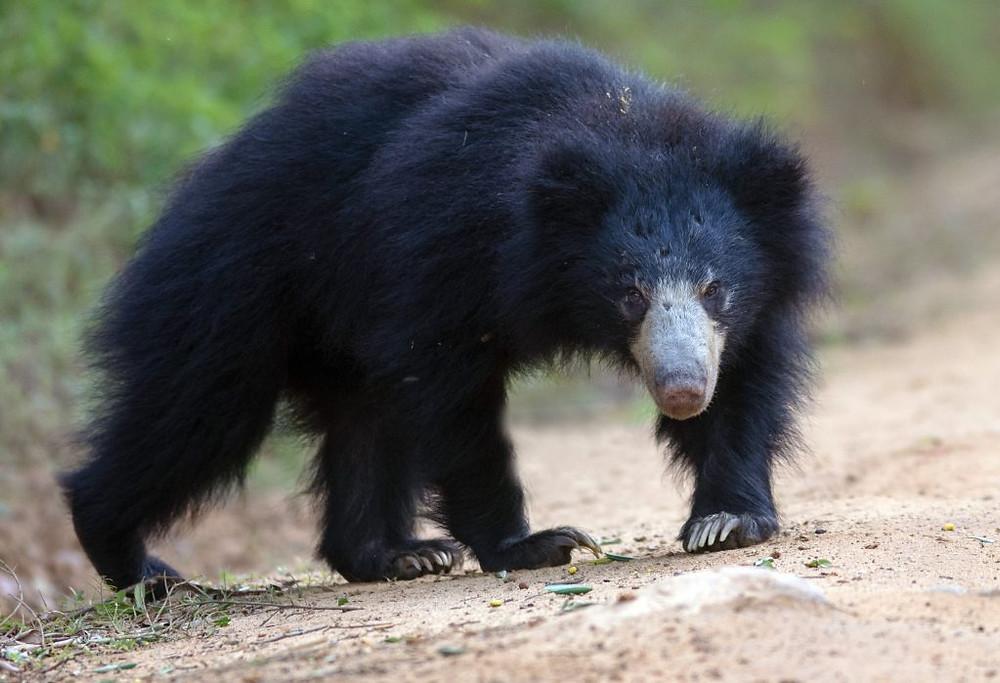L'ours noir d'Asie est souvent nommé ours à collier