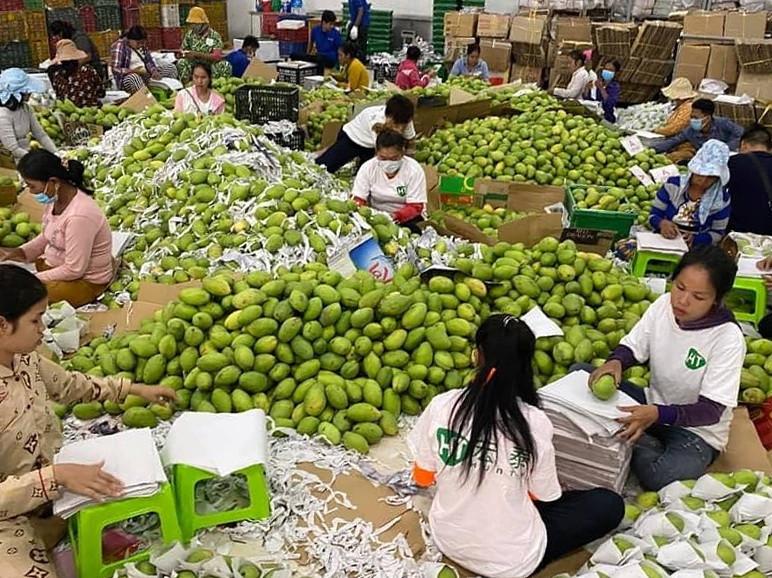 Le Cambodge commence à expédier des mangues fraîches vers la Chine