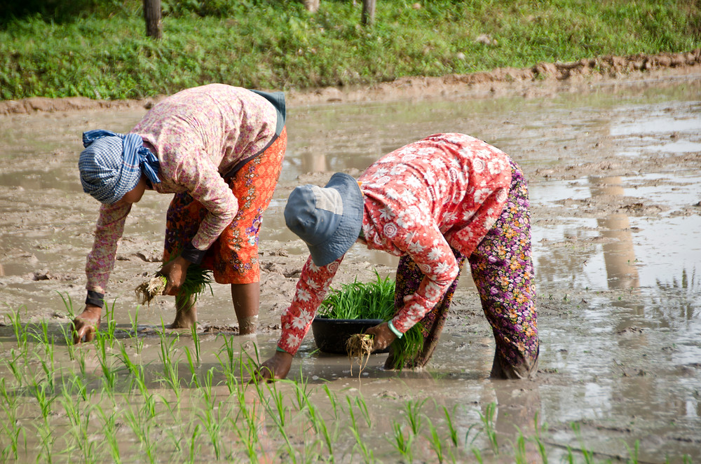 Riziculture au Cambodge