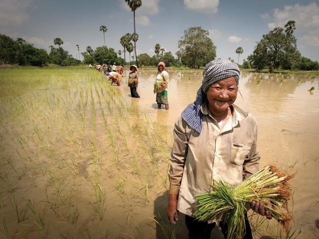 Femmes dans les rizières. Photographie DFAT (cc)