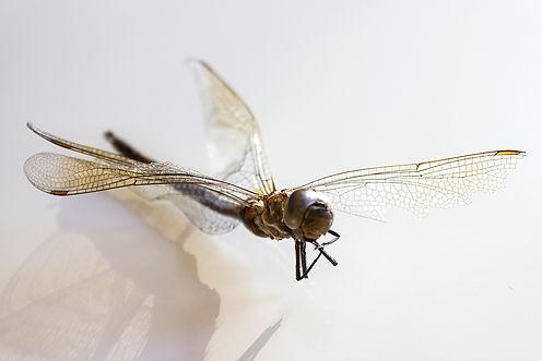 Sieglinde_studiosieg_Dragonfly.jpg