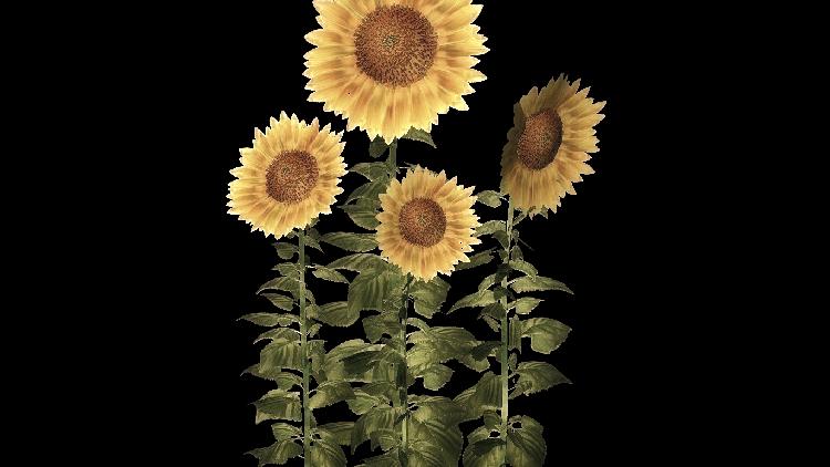 Sonnenblumen-Cremehonig (1kg)