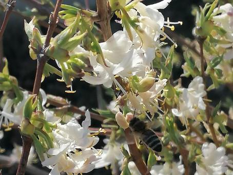 Frühblühende Heckenkirsche und Marillenbaum in voller Blüte