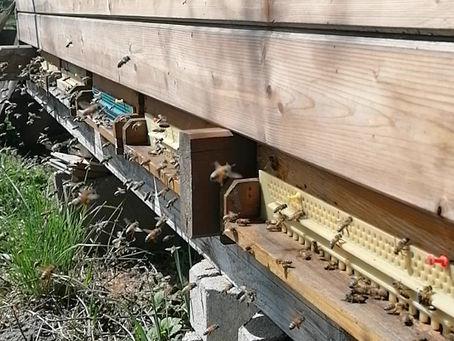 Aufregung im Bienenstock ...