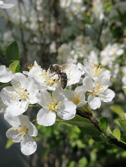 Apfelbeere