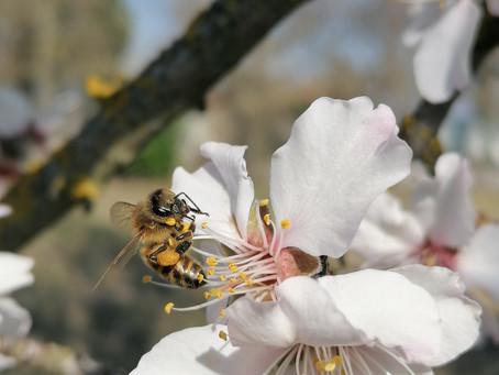 Auch die Mandelblüte frohlockt..