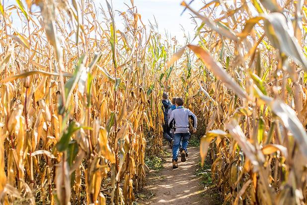 Kids running in corn maze in sunny autum