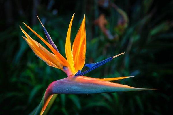 FLOWERS 8: The Bird of Paradise