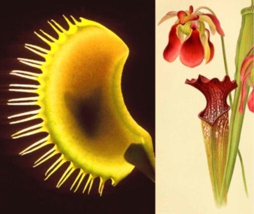 POISON: Venus Flytrap & Pitcher Plant