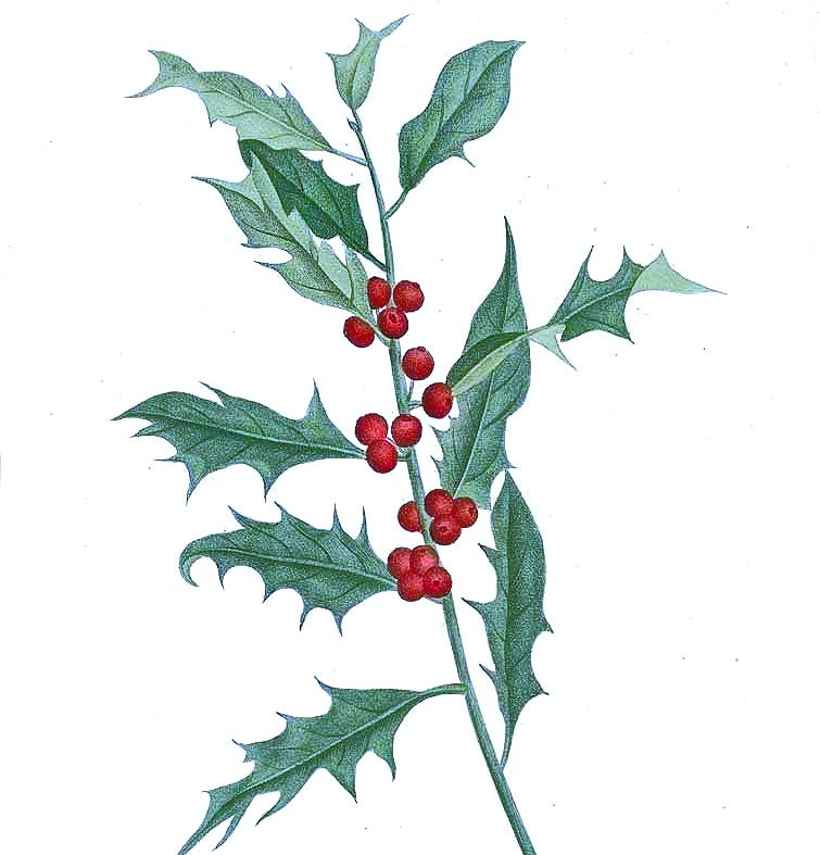 POISON: Holly