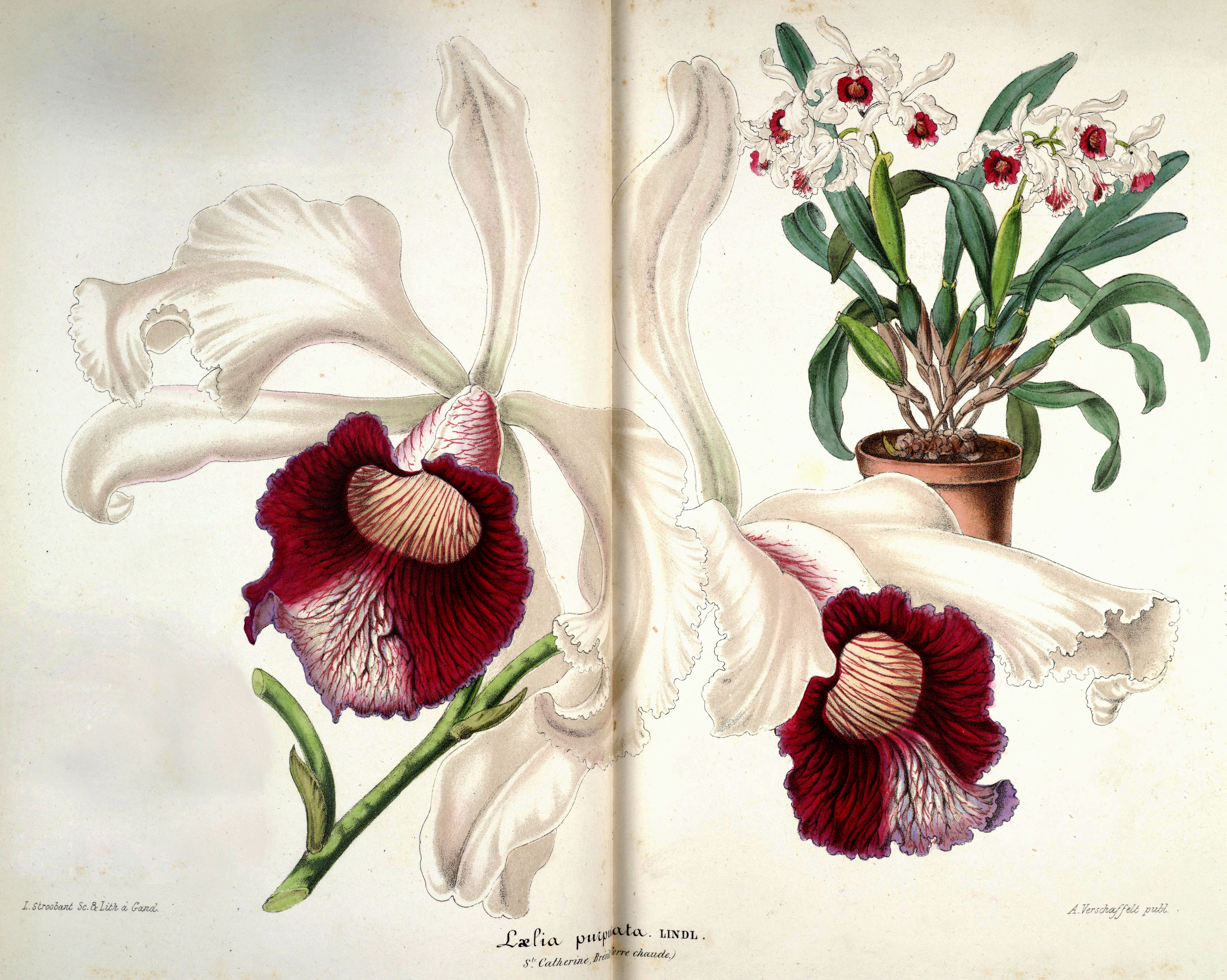 FLOWERS 7: The Orchid