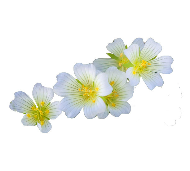 Medowfoam Seed Oil