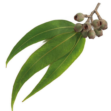 Eucalyptus Oil - Organic