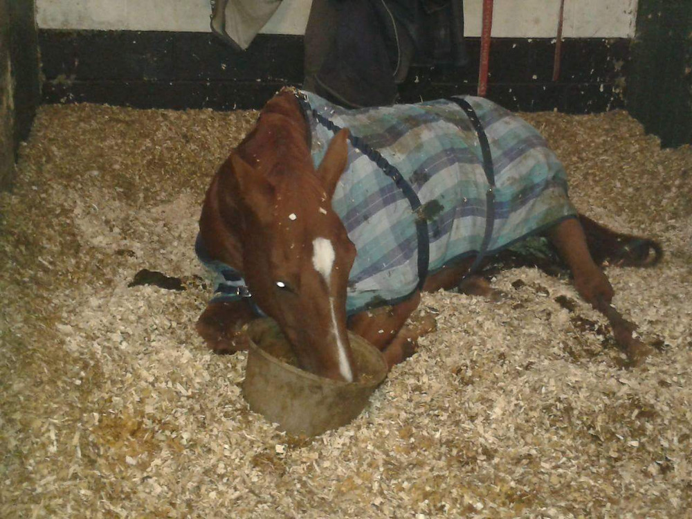 Horse lying in his stable eating from his feed bowl
