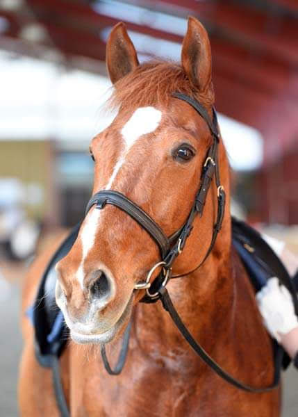 Beautiful Chestnut horse, Easky
