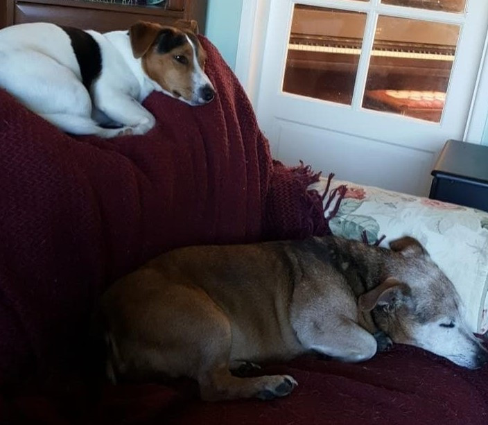 Bertie and Charlie, 2 Jack Russell Terriers dozing on the sofa