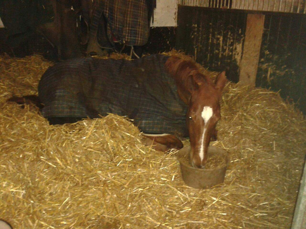 Chestnut horse lying in deep straw bed eating from a food bowl