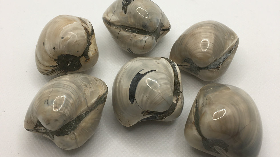 Fossil Clam Shells - 150 million years old