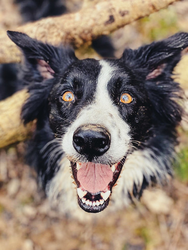 Collie Smile