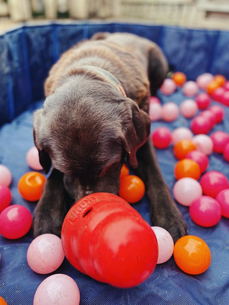 Labrador enrichment games