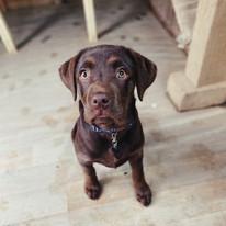 Puppy Lab X Boxer