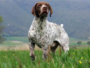 Bracco Francese di tipo Pirenei: conosciamo meglio questa razza canina