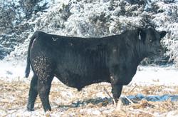 PLG Cowboy Cut 18-167