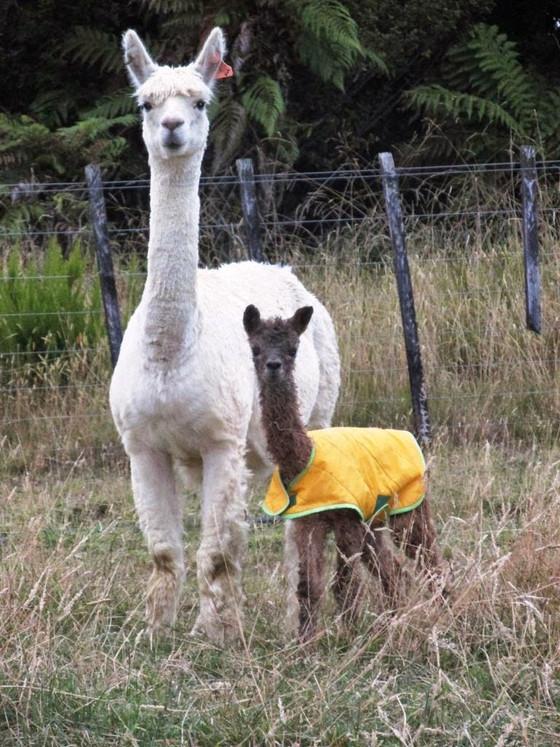 Drama Llama (or alpaca...)